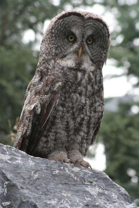 grey owl wallpaper grey owl hd wallpaper animals wallpapers