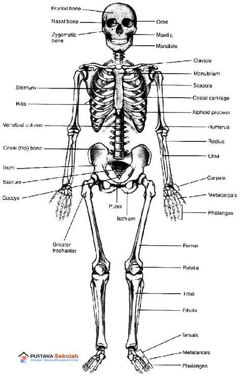 Kerangka Manusia anatomi fisiologi skeletal be health inside and outside