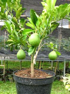 Jual Polybag Denpasar onta lebay tanaman buah dalam pot tambulapot buah