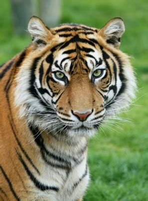 tiger rubber st endangered animals around the world need our help and