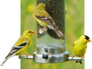 wild birds unlimited attract goldfinches to your backyard