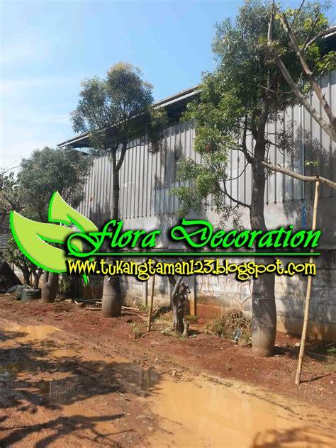 jual pohon baobab tambleg asem buto jual pohon pelindung tukang taman murah tukang