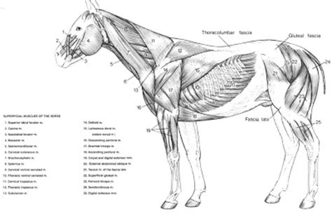 horses muscles diagram browneyedcowgirl bad