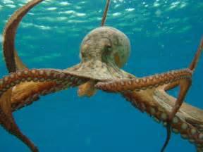 poulpe pieuvre tout sur cet animal facinant