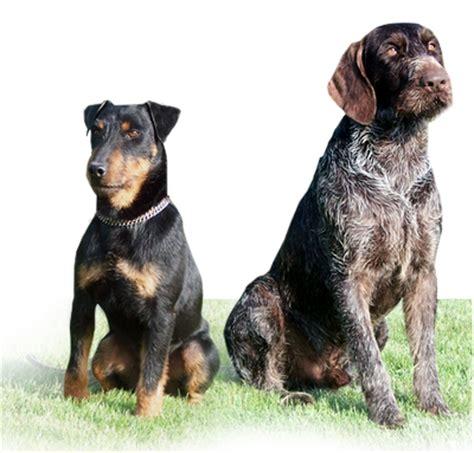 jagdterrier puppies jagdterrier breeders jagdterrier