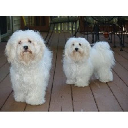 havanese breeders in ma havanese havanese breeder in guilford indiana
