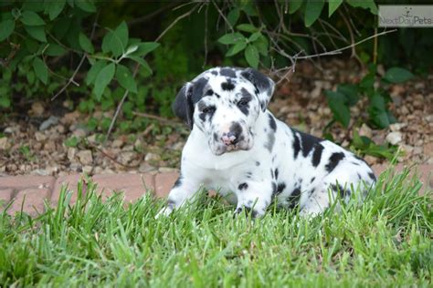 great dane puppies for sale in ga great dane puppies for sale in myideasbedroom