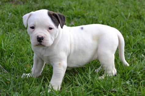 american bulldog puppies for sale in ohio 1000 ideas about american bulldog puppies on american bulldogs blue nose