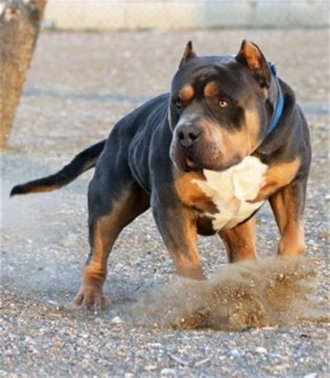 huge 100 pound xxl large male pitbulls bully xtreme huge 100 pound xxl large male pitbulls bully xtreme
