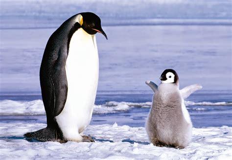 Adelie Penguin Fresh Hd Wallpapers 2014-15   Top hd ...