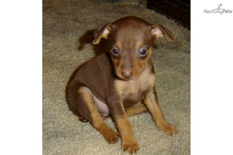 chocolate miniature pinscher puppies for sale miniature pinscher for sale for 500 near eastern co colorado 68e2595a 8be1