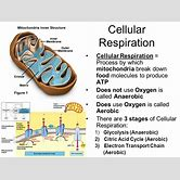 mitochondria-cellular-respiration