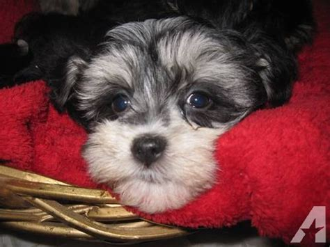 havanese yorkie puppies adorable havanese yorkie puppy non shedding for sale in vernon