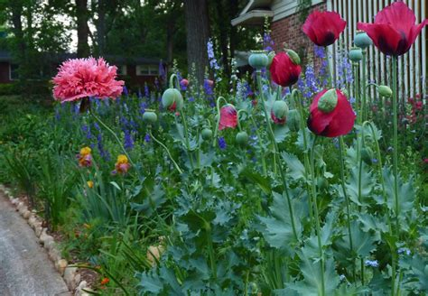 plants for backyard poppies for memories garden rant