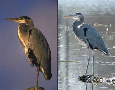 heron meaning herons great blue heron tattoo inspiration pinterest