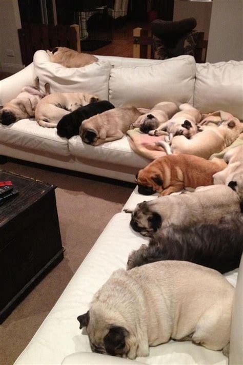 many pugs 12 beautifully bodacious pugs