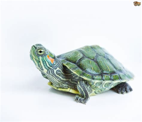 5 Common Species of Terrapins that Make Great Pets