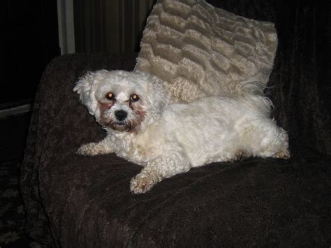 shih tzu cross for sale shih tzu bichon cross for sale bishop auckland county durham pets4homes