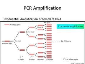 template dna lecture 4 polymerase chain reaction pcr ppt