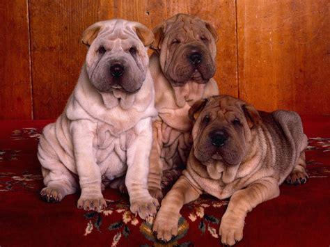 free shar pei puppies shar pei puppies wallpaper free hd downloads