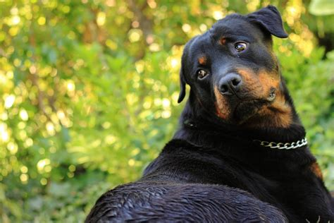 rottweiler as pets free photo pet animal rottweiler black free image on pixabay 69561