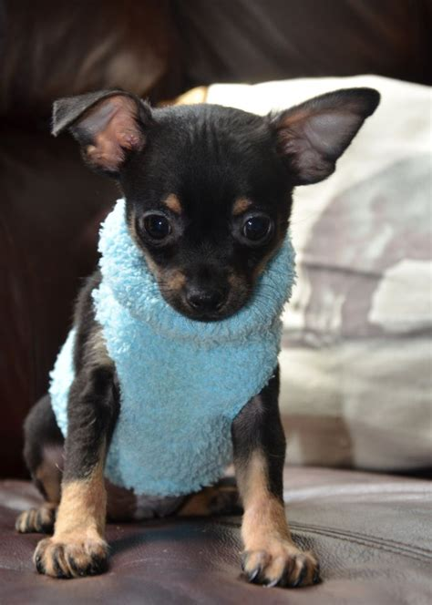teacup puppies for sale in ohio 200 1000 ideas about teacup chihuahua puppies on teacup chihuahua chihuahua