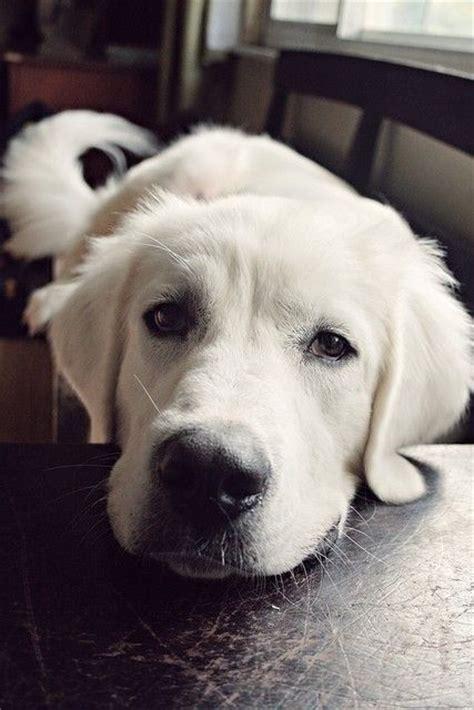 golden retriever puppies katy tx best 25 golden retrievers ideas on retriever
