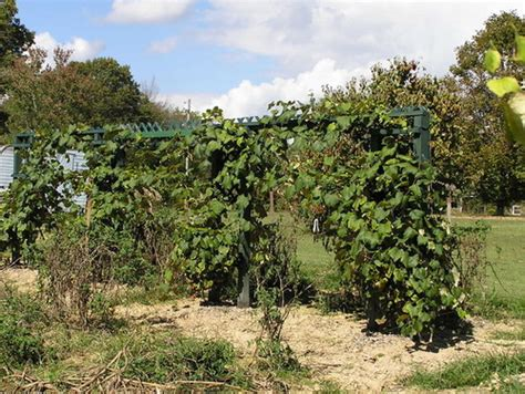 pruning concord grape vines