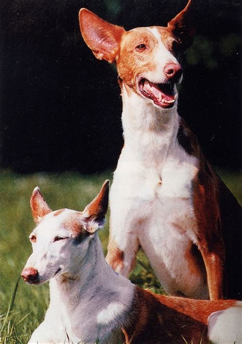 ibizan hound puppies for sale 17 best images about ibizan hound on portrait pharaoh hound and ancient