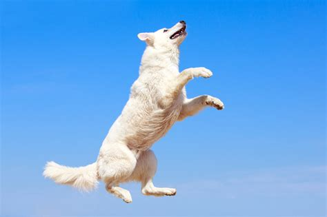 how to a from jumping on image gallery jumping dogs