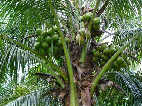Uses Of The Coconut Palm by Top 10 Amazing Facts About The Coconut Tree Most Beautiful