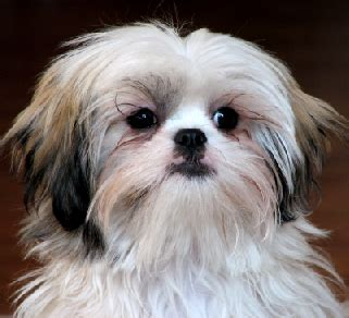 how fast does havanese hair grow difference between havanese and shih tzu havanese vs shih tzu