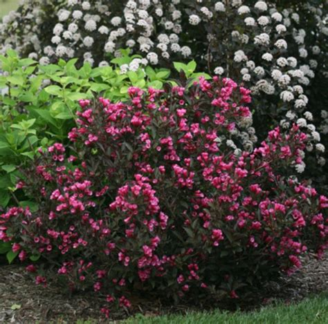 weigelia bramwell fine wine flowering shrubs pinterest fine wine sun and wine