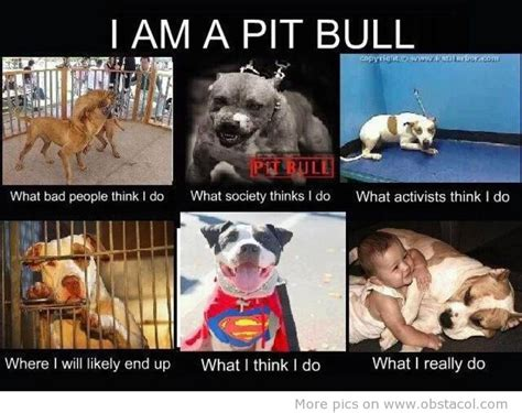 Pitbull Memes - the adventures of loki the loco dog