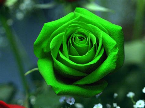 wallpaper green rose green rose wallpapers hd pictures one hd wallpaper