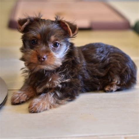 yorkies for sale in ottawa yorkie s puppies for sale