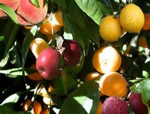 Grafting Fruit Trees Youtube - fruit salad tree youtube