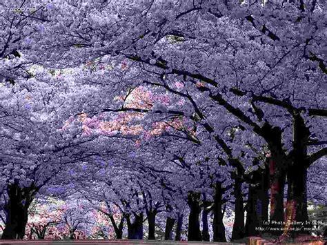 Chinesischer Blauglockenbaum Kaufen by Paulownia Tomentosa Samen 0 5 Kg Ca 1 Million Samen