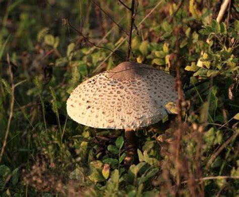cucinare mazze di tamburo i funghi mazze di tamburo le ricette e le caratteristiche