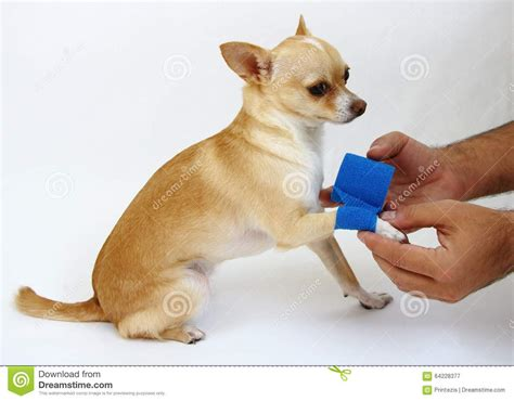 hurt puppy caring for with hurt leg stock photo image 64228377