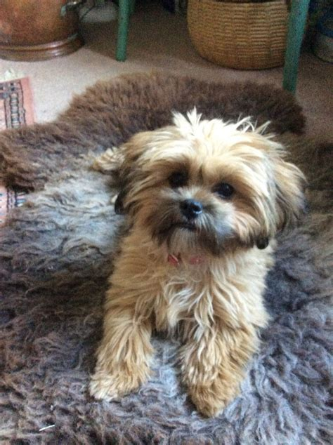 shih tzu for sale hastings shih tzu poodle puppy hastings east sussex pets4homes
