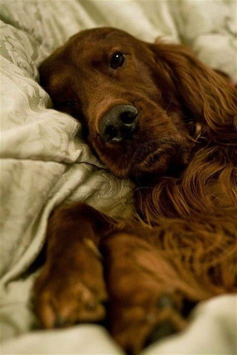 old setter dog 17 best images about irish setters on pinterest old
