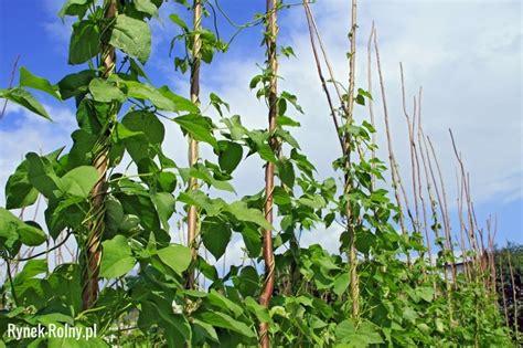 hochbeet als sichtschutz 1314 uprawa fasoli szparagowej tycznej zdjęcie 3 uprawa