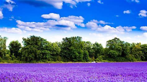 beautiful pictures 2016 hd hintergrundbilder lavendel bl 252 te blume fr 252 hling feld desktop hintergrund