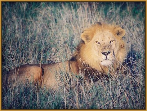 imagenes leones del caracas imagenes de leones para fondo de pantalla archivos