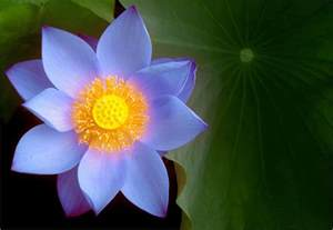 The Blue Lotus Flower Blue Lotus Flower Blue Lotus Flower Bahman Farzad Flickr