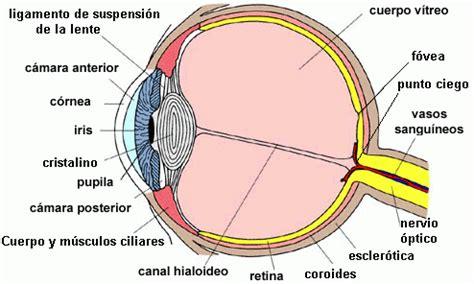 imagenes de ojos por dentro teor 237 a de los sistemas el ojo humano monografias com
