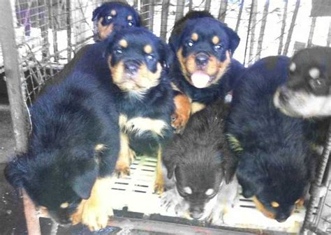 rottweiler for sale in philippines rottweiler puppies for sale philippines 23417822 breeds picture