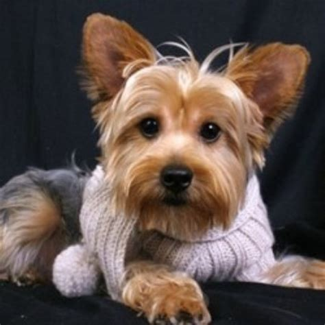 grooming for yorkies yorkie grooming key to show quality yorkies breeds picture