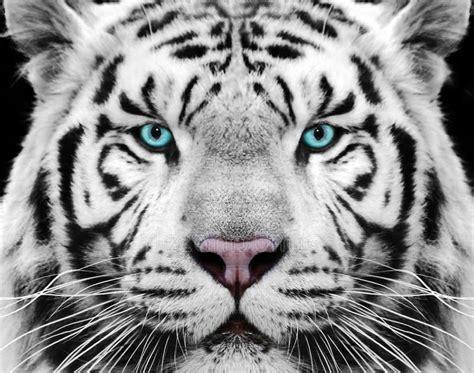 gambar macan putih marah semburat warna